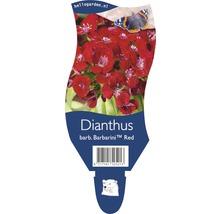 Œillet-de-poète Dianthus barbatus ''Barbarini Red'' h 20-25 cm pot Ø 11 cm (6 pièces)-thumb-2