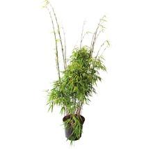 Bambou de jardin résistant au soleil FloraSelf Fargesia rufa H 60-80 cm Co 7,5 L-thumb-0