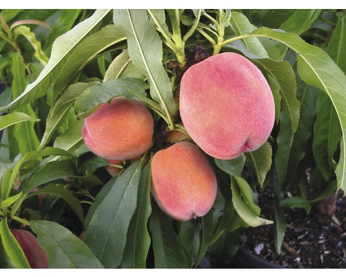 Pêchier nain arbuste Prunus persica ''Bonanza'' h 60-80 cm Co 7,5 l