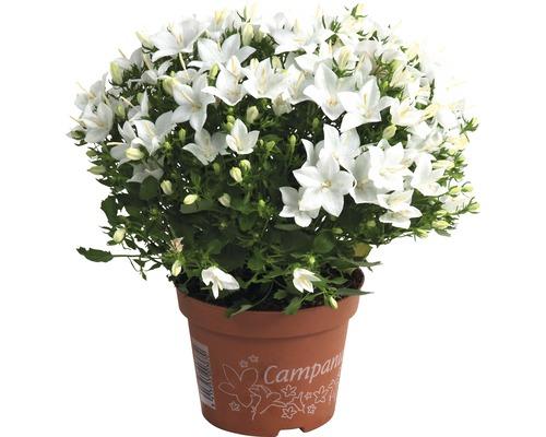 Campanula isophylla FloraSelf® assorti pot de 11cm