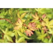 Érable palmé du Japon Acer palmatum «Katsura» H40-50cm Co 4,5l-thumb-1