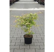 Érable palmé du Japon Acer palmatum «Katsura» H40-50cm Co 4,5l-thumb-0
