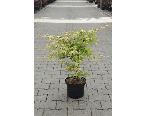 Érable palmé du Japon Acer palmatum «Katsura» H40-50cm Co 4,5l-0