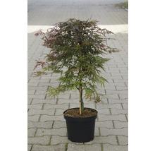 Érable palmé du Japon Acer palmatum «Orangeola» H40-50cm Co 4,5l-thumb-0
