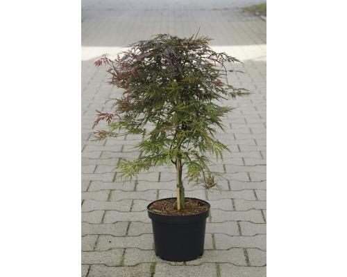 Érable palmé du Japon Acer palmatum «Orangeola» H40-50cm Co 4,5l-0