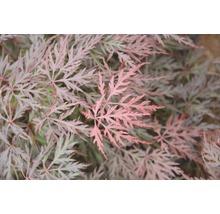 Érable palmé du Japon Acer palmatum «Orangeola» H40-50cm Co 4,5l-thumb-1
