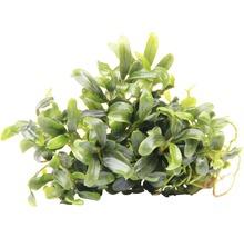 Bucephalandra à feuilles étroites-thumb-0