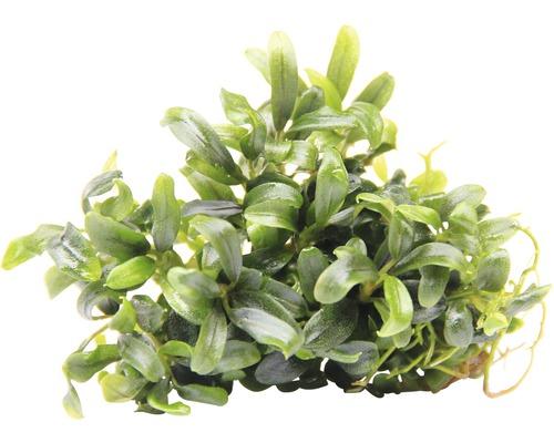 Bucephalandra à feuilles étroites-0
