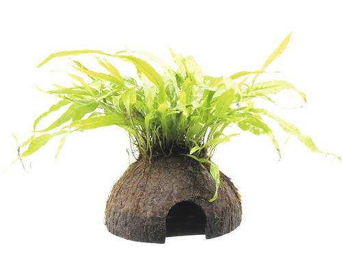 Caverne noix de coco fougère de Java-0