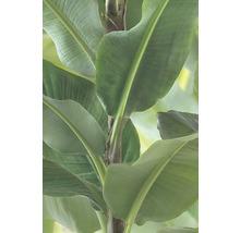 Panneau japonais Banana Tree vert 245x60cm-thumb-1
