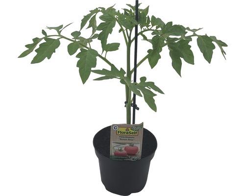 Tomate FloraSelf Bio Lycopersicum esculentum var. Esculentum ''Berner Rose'' pot Ø 11 cm