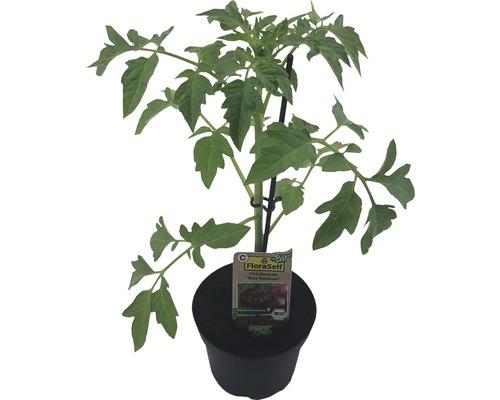 Tomate FloraSelf Bio Lycopersicum esculentum var. Esculentum ''Rouge russe'' pot Ø 11 cm
