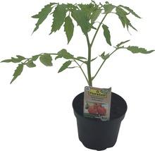Tomate cœur de bœuf FloraSelf Bio Lycopersicum esculentum var. Esculentum ''Cœur de bœuf'' pot Ø 11 cm-thumb-0