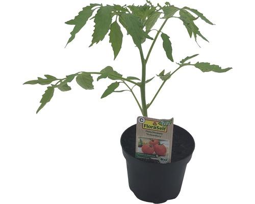 Tomate cœur de bœuf FloraSelf Bio Lycopersicum esculentum var. Esculentum ''Cœur de bœuf'' pot Ø 11 cm
