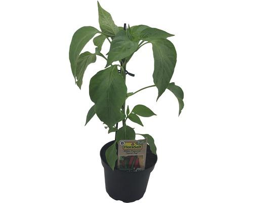 Piment FloraSelf Bio Capsicum annuum ''Sweet Pep'' pot Ø 9 cm