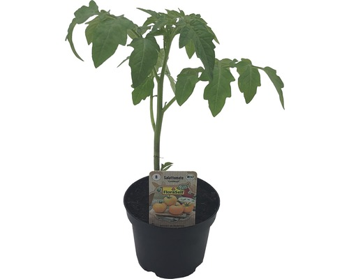 Tomate pour salade BIO ''Goldkopf'' FloraSelf pot Ø 9 cm