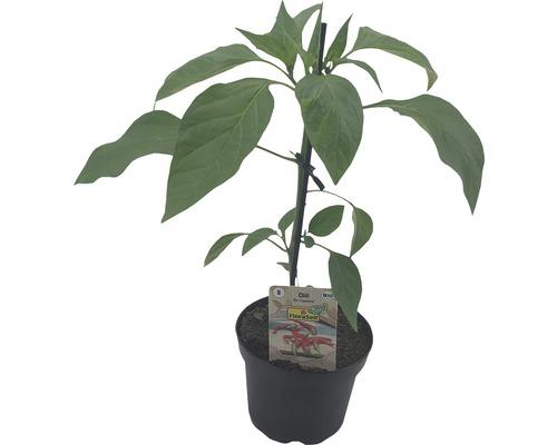 Chili FloraSelf Bio Capsicum annuum ''Cayenne'' pot Ø 9 cm