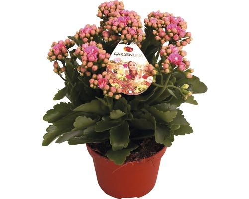 Kalanchoé de Blossfeld bicolore FloraSelf Kalanchoe blossfeldiana ''Gardenline'' H20-25cm pot Ø12cm