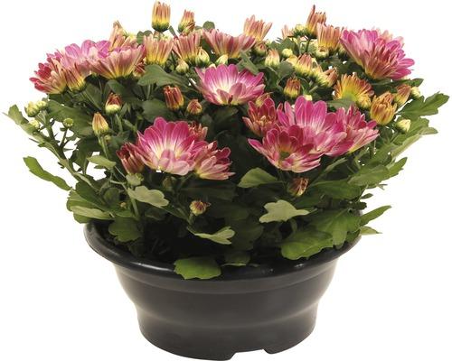 Chrysanthème FloraSelf Chrysanthemum indicum ''Pink Secret'' pot Ø 23 cm