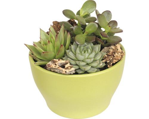 Arrangement de plantes succulentes FloraSelf H11-16 cm pot vert Ø 15 cm