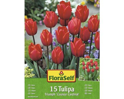 Kit promotionnel de bulbes de tulipes Couleur Cardinal 15 un.