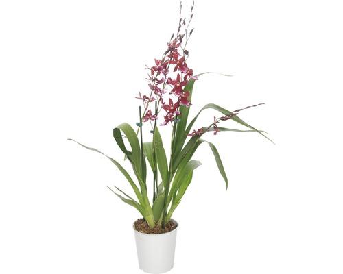 Orchidée cambria FloraSelf Cambira ''Barocco'' H 45-60 cm pot Ø 12 cm