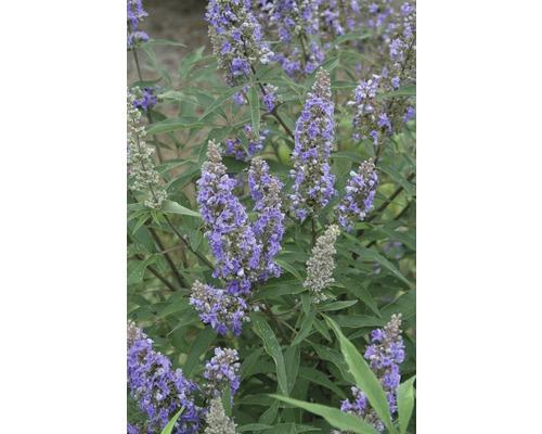 Mönchspfeffer Vitex agnus castus ''Delta Blues'' ® H 40-50 cm Co 4,5 L