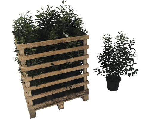 Laurier du Portugal FloraSelf Prunus lusitanica ''Angustifolia'' H60-80cm Co 5l (20pièces) 1demi-palette