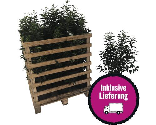 Portugiesischer Kirschlorbeer FloraSelf Prunus lusitanica ''Angustifolia'' H 60-80 cm Co 5 L (20 Stk) 1 Halbpalette