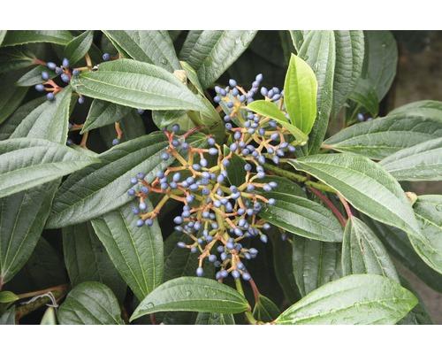 Immergrüner Kissenschneeball FloraSelf Viburnum davidii H 40-50 cm CO 6 L