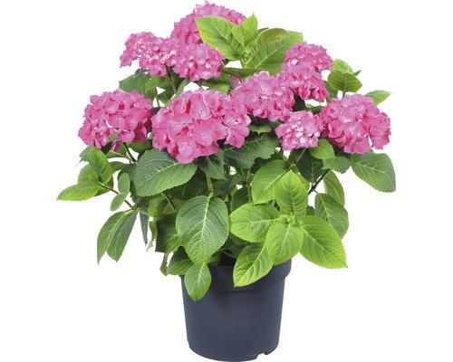 Hortensia rugueux, Hydrangea velu FloraSelf Hydrangea aspera ''Macrophylla'' h 40-60 cm Co 6 l