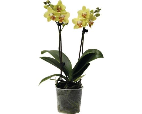 Orchidée papillon FloraSelf Phalaenopsis multiflora h 35-45 cm pot Ø 9 cm jaune