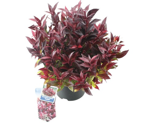Traubenheide FloraSelf Leucothoe walteri ''Scarletta''/ ''Zeblid'' H 25-30 cm Co 2 L