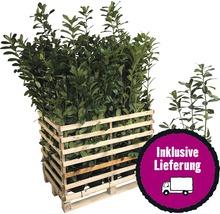 50 x Kirschlorbeer, Lorbeerkirsche FloraSelf Prunus laurocerasus ''Caucasica'' H 60-80 cm Co 5 L für ca. 17 m Hecke-thumb-0