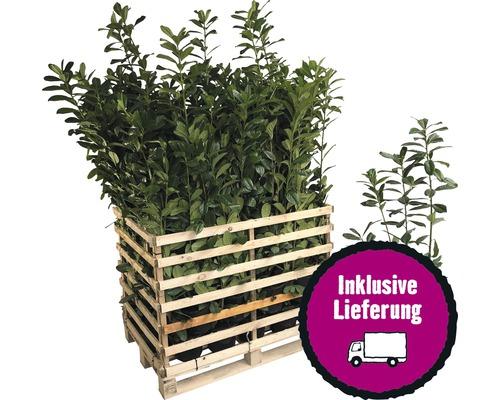 50 x Kirschlorbeer, Lorbeerkirsche FloraSelf Prunus laurocerasus ''Caucasica'' H 60-80 cm Co 5 L für ca. 17 m Hecke
