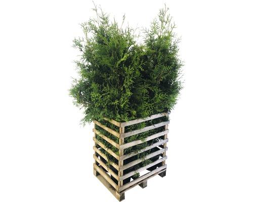 6 x Lebensbaum FloraSelf Thuja occidentalis ''Brabant'' H 150-175 cm Co 12 L für ca. 3 m Hecke