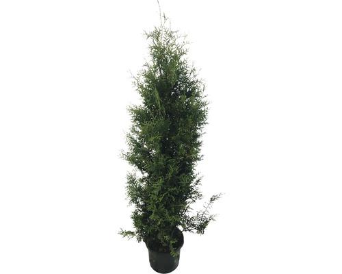 Arbre de vie FloraSelf Thuja occidentalis ''Brabant'' H 150-175 cm Co 12 L