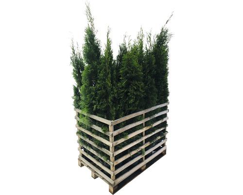 12 x Lebensbaum FloraSelf Thuja occidentalis ''Smaragd'' H 150-175 cm im Co 12 L für ca. 6 m Hecke