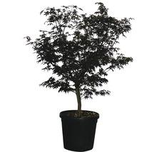 Érable palmé Acer palmatum ''Fireglow'' H125-150 cm Co 35 L-thumb-0