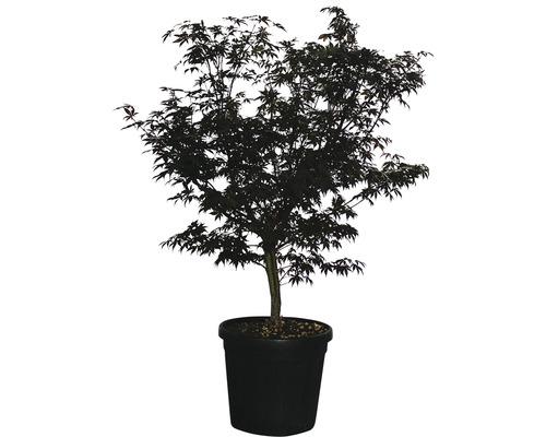 Érable palmé Acer palmatum ''Fireglow'' H125-150 cm Co 35 L-0