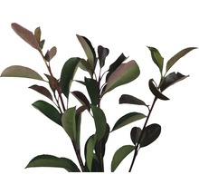 12 x photinies FloraSelf Photinia fraseri ''Red Robin'' h 80-100 cm Co 10 l pour une haie d''env. 5 m-thumb-2