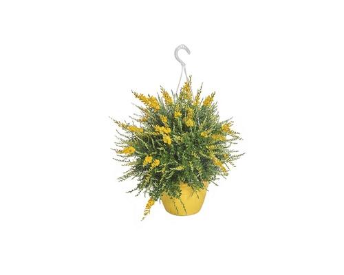 Suspension genêt de Tenerife Cytisus x racemosus h 18-25 cm pot Ø 16 cm
