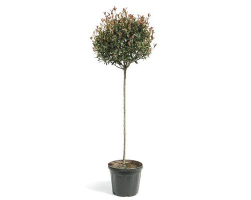 Glanzmispel Photinia fraseri ''Compacta'' Halbstamm 120 cm H 160-180 cm Co 30 L