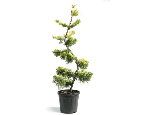 Cyprès de Leyland bonsaï Cupressocyparis leylandii ''Gold Rider'' H140-150 cm Co 25 L