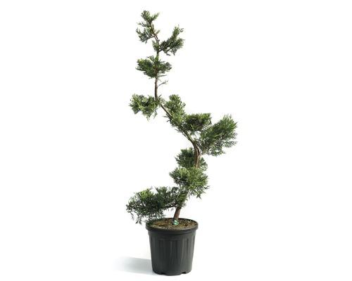 Cyprès de Leyland bonsaï Cupressocyparis leylandii ''Castlewelland Gold'' H140-150 cm Co 25 L