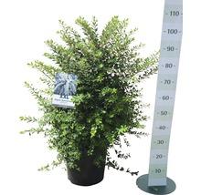 Spirée FloraSelf Spiraea nipponica ''Snowmound'' H100-125 cm Co 15 L-thumb-1