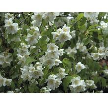Jasmin de jardin, seringat commun FloraSelf Philadelphus ''Natchez'' H100-125 cm Co 15L-thumb-0