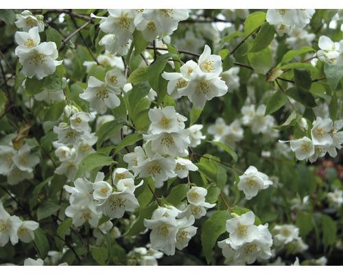 Jasmin de jardin, seringat commun FloraSelf Philadelphus ''Natchez'' H100-125 cm Co 15L-0