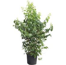 Jasmin de jardin, seringat commun FloraSelf Philadelphus ''Natchez'' H100-125 cm Co 15L-thumb-4