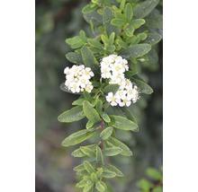 Spirée FloraSelf Spiraea nipponica ''Snowmound'' H100-125 cm Co 15 L-thumb-0